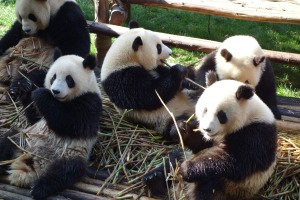 Hungry Panda bears!